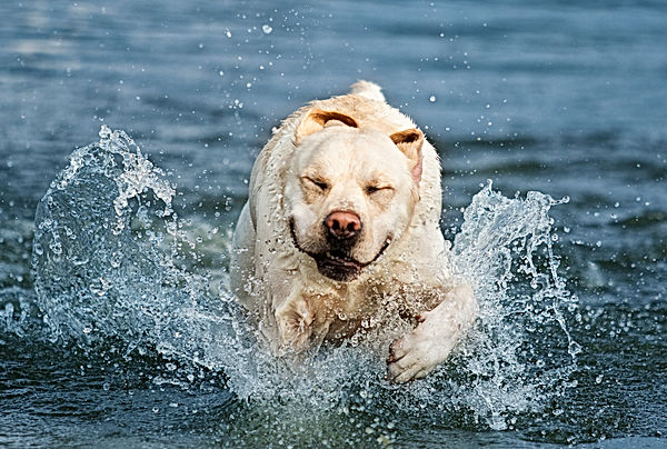 smiling white dog swim.jpeg