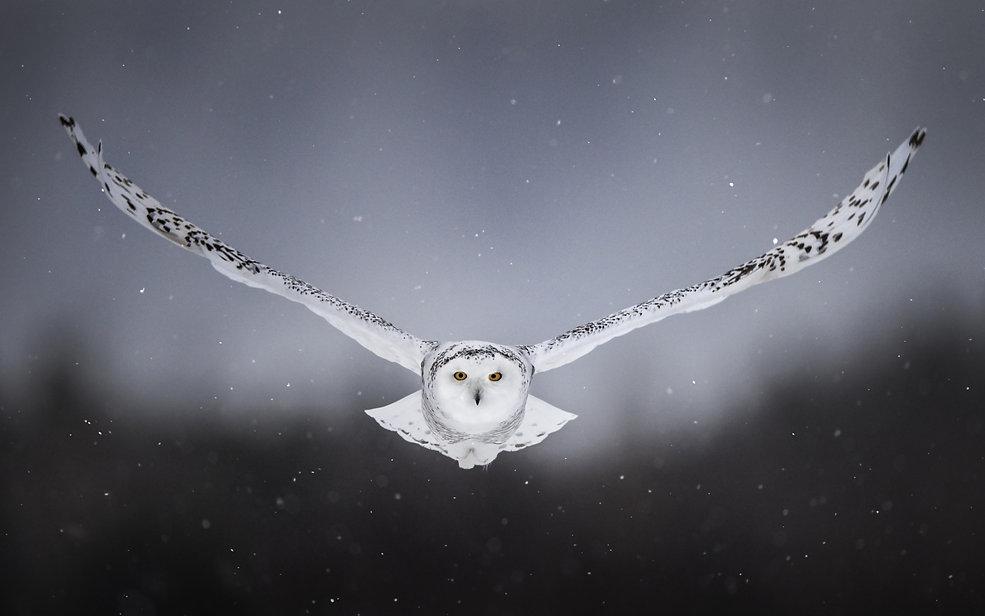 white-snow-owl-flying-lz-3840x2400.jpg