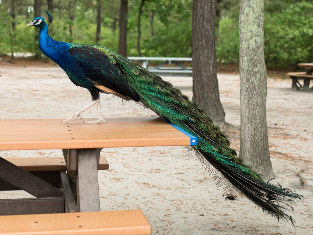 peacock on picnic table at the popcorn park zoo