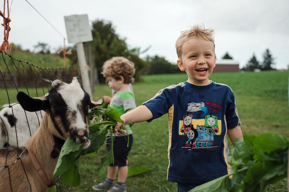 little boy feeding goat at milky way farm