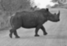 rhinocerose rhino kristelmphoto safari kruger parc animal sauvage