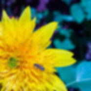 fleur jaune abeille nature ecologie