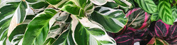 Variegated-plant-header-v2