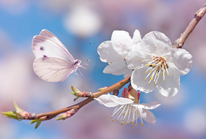 White butterfly and blossom_edited.jpg