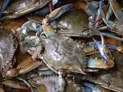 Blue Crabs 2