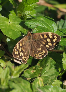 Speckled wood_edited.jpg