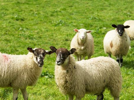 Further memories of Ollerbrook Farm: Lambing Time