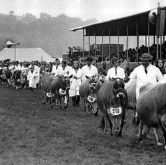 Cattle judgin