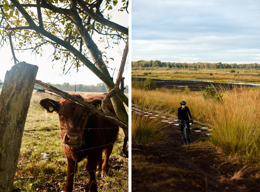 A cow and a female cyclist on a Specialized Turbo Creo SL Comp Carbon EVO