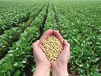 soybean 2.jpg