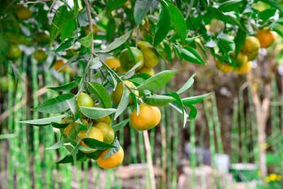 עץ לימונים
