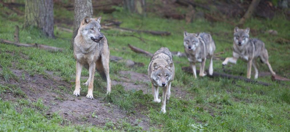 Wildpark GueWoelfe.jpg