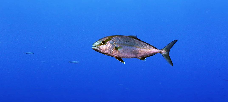 Diving,San Teodoro,Sardegna,Pesce, ricciola,immersione,secca del papa