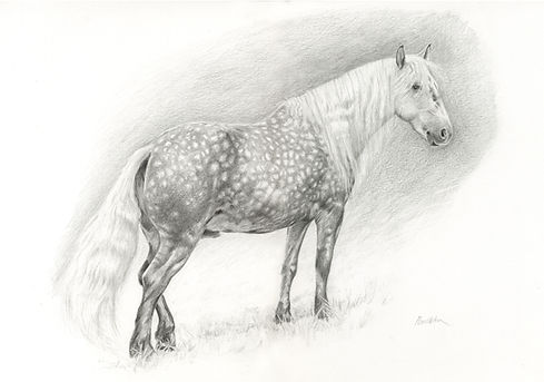 Dapple Grey pony pencil drawing