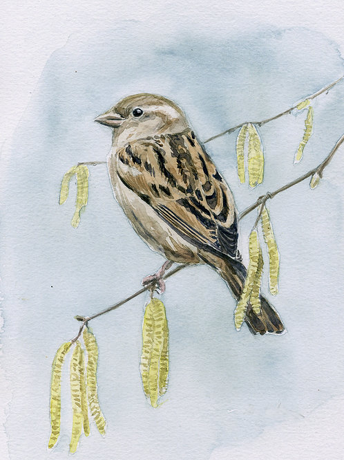 House Sparrow & Catkins