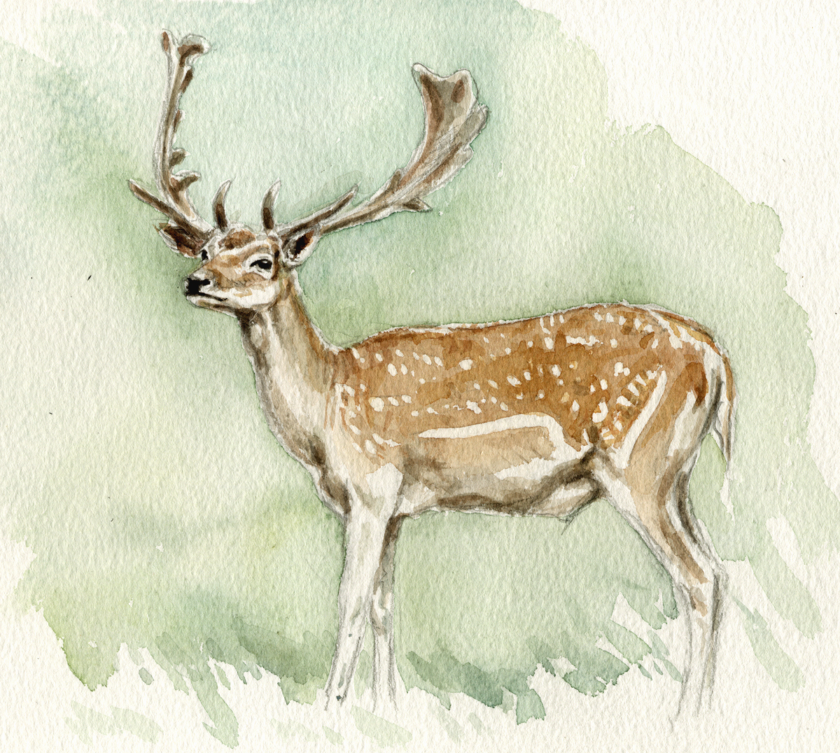 Fallow-stag-copy