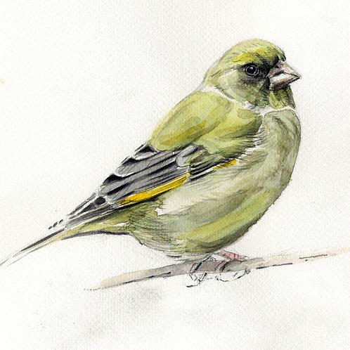 Greenfinch