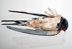 Another Swallow measured drawing