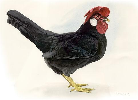 Champion Black Leghorn bantam watercolour