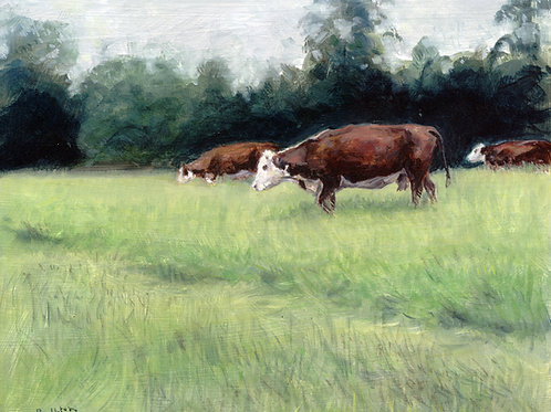 Hereford Cattle at Wallingford
