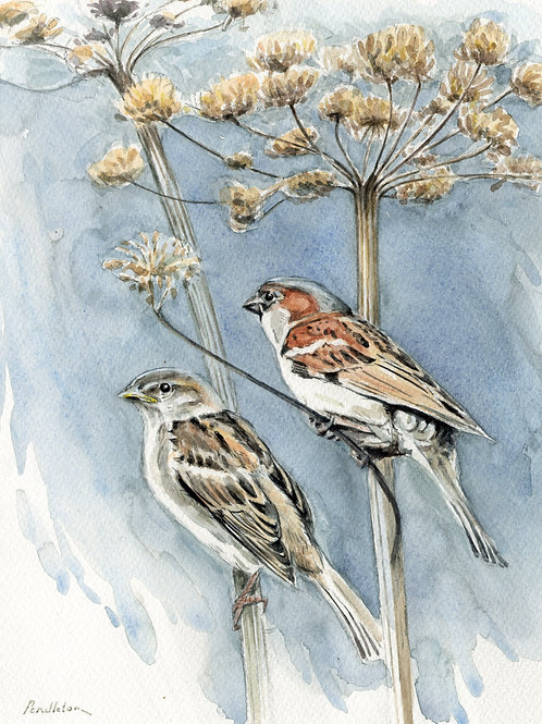 House Sparrows & cow parsley