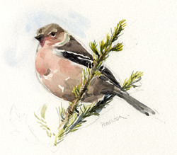 Tree-top Chaffinch