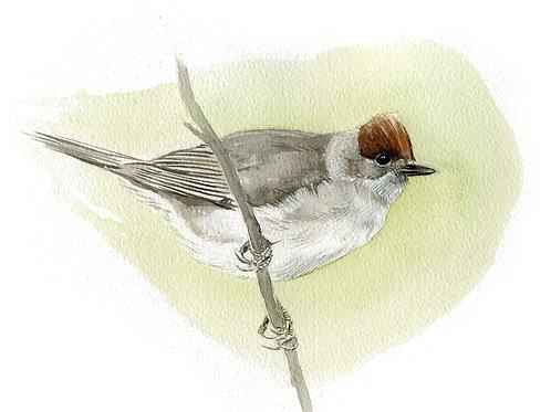 Blackcap (female)