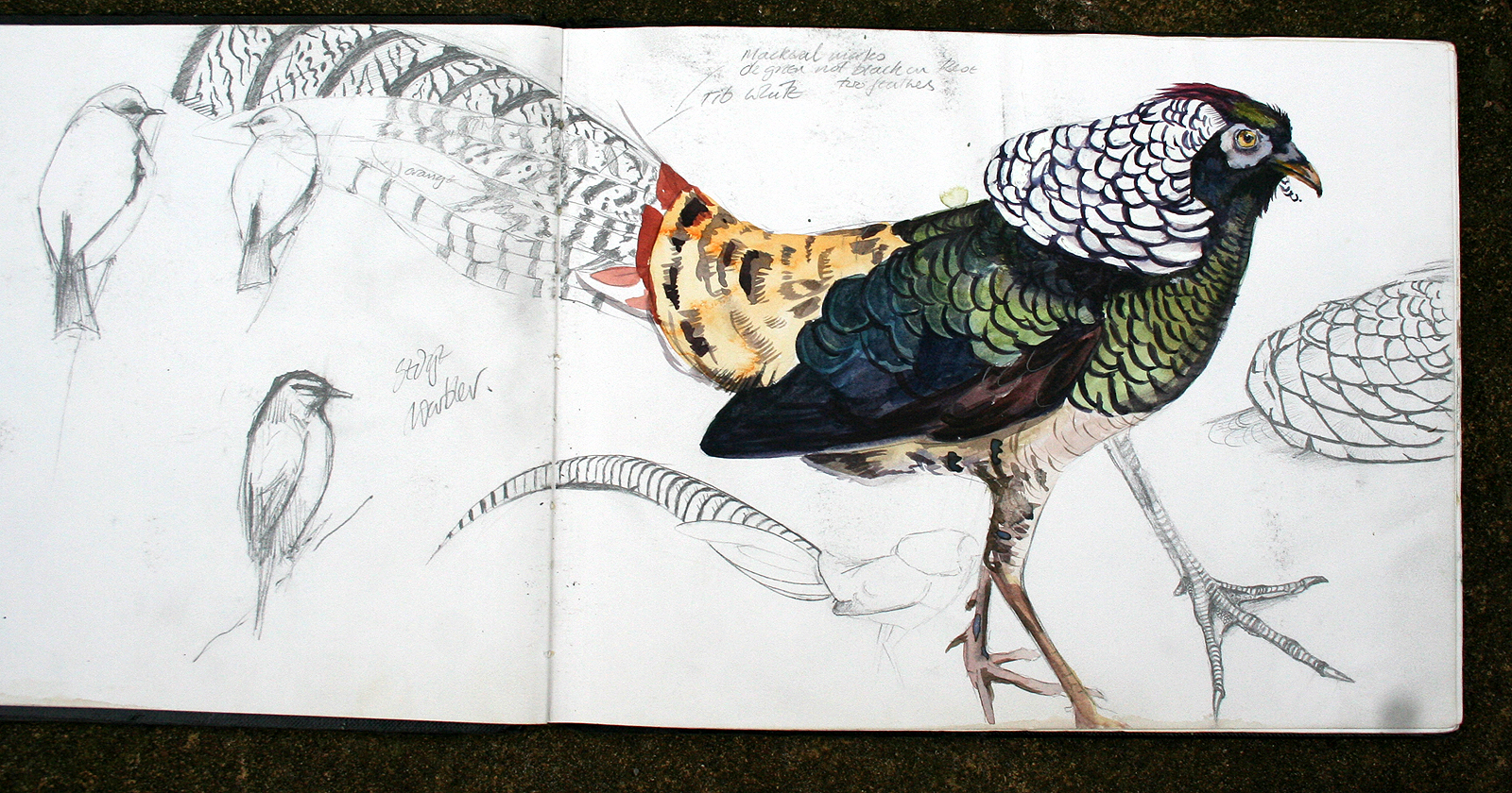 Lady Amherst's Pheasant with Sedge Warbler and Dunnock!