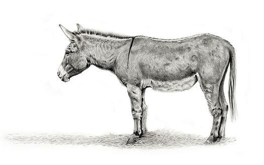 Donkeydrawing-copy.jpg