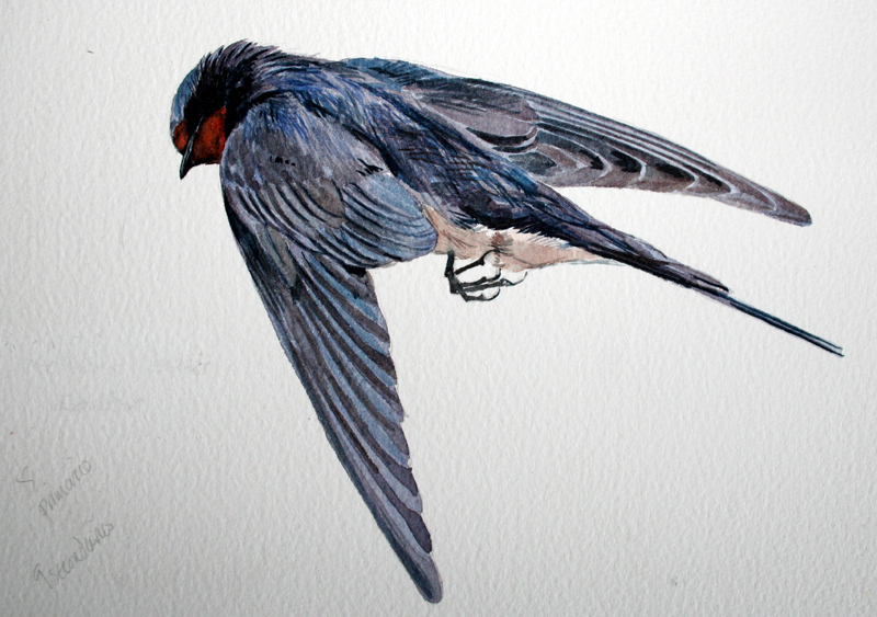 Swallow measured drawing - found in Spain, Easter.