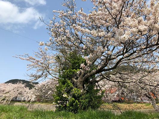 島根県隠岐の島。春、元屋地区に咲く満開の桜。