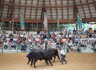 隠岐の牛突きは約800年の歴史を持つ伝統行事、モーモードームで行われる夏場所大会で観客が見守る中、巨体の雄牛2頭がぶつかり合う