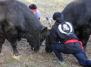 隠岐の牛突きは約800年の歴史を持つ伝統行事、屋外で行われる一夜嶽牛突き大会はこの年最後の本場所大会