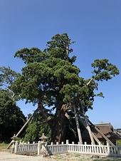八百比丘尼によって植えられたとされる八百杉