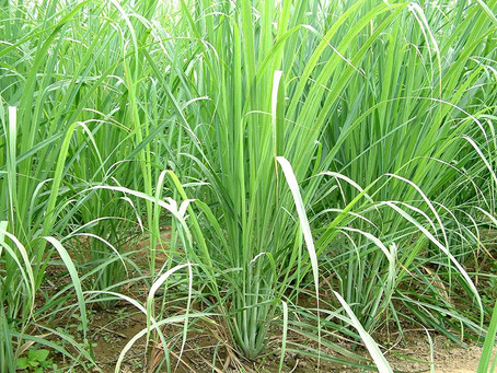 The Wonderful Attributes of Lemongrass