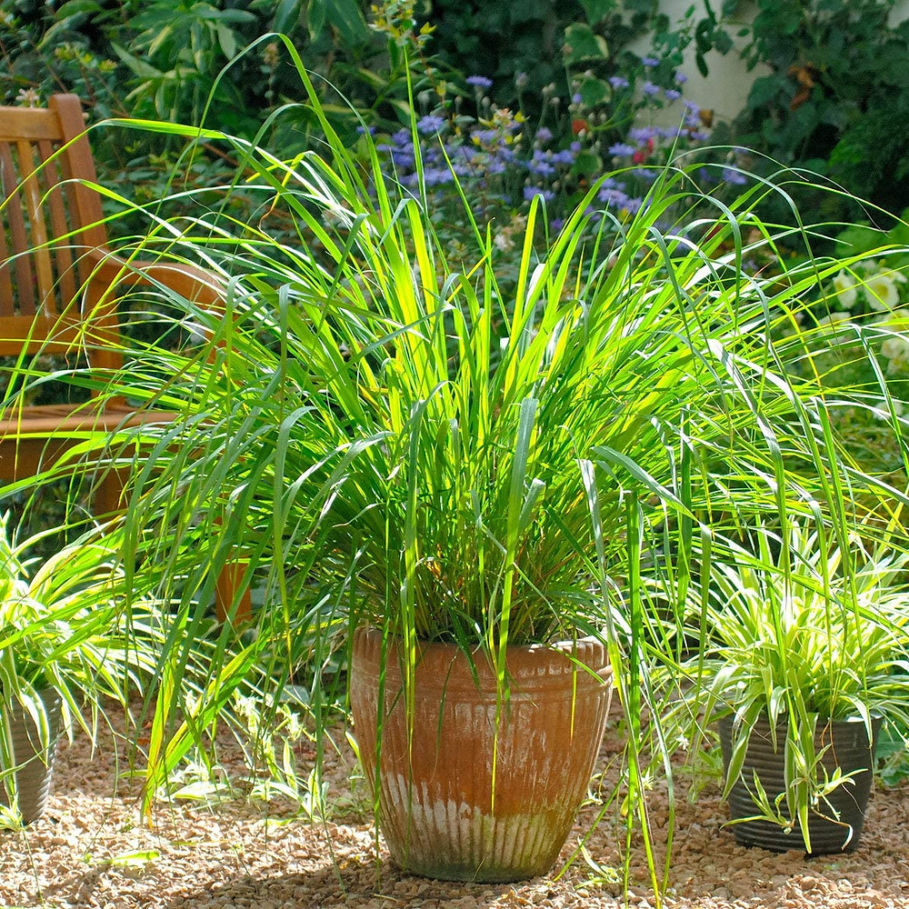 Growing Lemongrass from home in pots is easy to care for and has a host of health benefits in cooking and topically