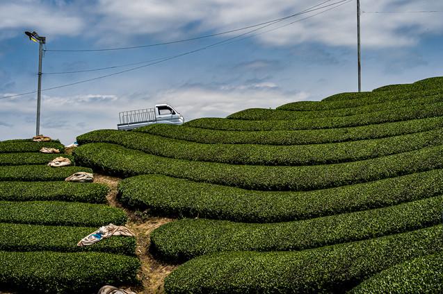 Uji Tea fields