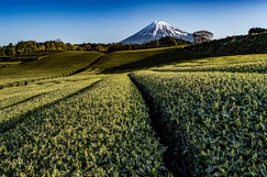 Tea fields and Mt.Fuji