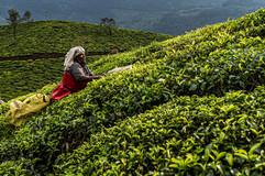 Tea picking women