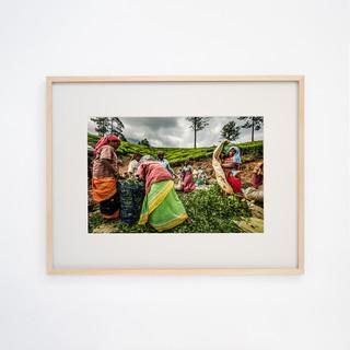 Tea picking women's ② Talayar Kerala, INDIA