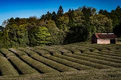 Tea fields and baens