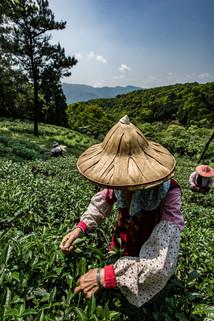 Tea picking women's