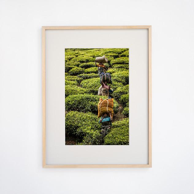 Tea picking women's ① Talayar Kerala, INDIA