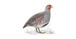 grey-partridge.jpg