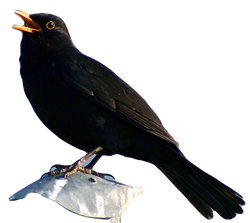 Blackbird_edited