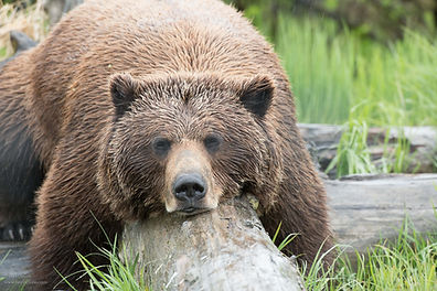 Worry-Anchorage Alaska day tour to See Alaskan Brown Bears Upclose