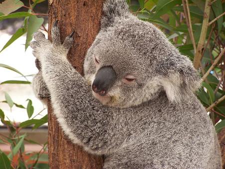 koala-hugging-tree-closeup-photography.j