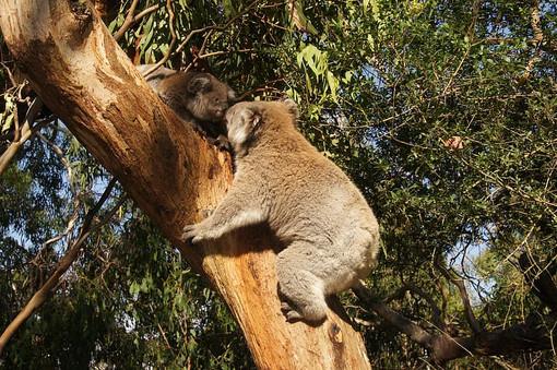 two-koala-bears-on-tree-trunk.jpg
