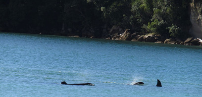 Orcas in bay out the front of Anchorage Motel 002.jp