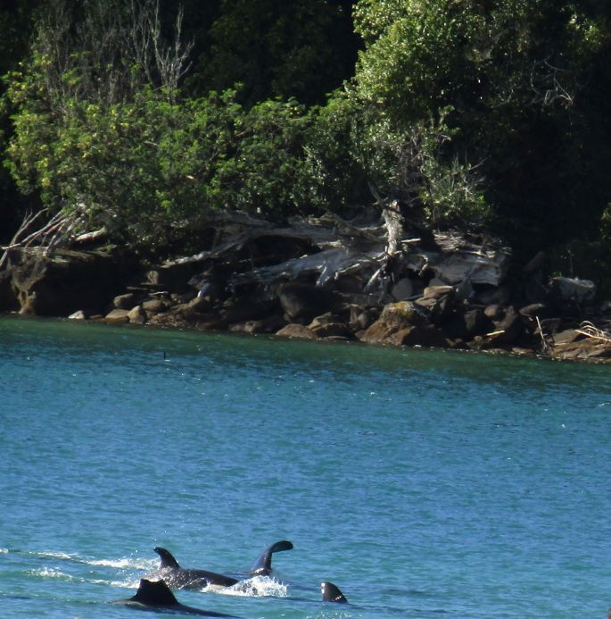 Orcas in bay out the front of Anchorage Motel 004.jp